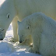Polar Bear, (Ursus maritimus) Portrait of mother and cub. Churchill, Manitoba. Canada.