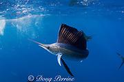 Atlantic sailfish, Istiophorus albicans, hunting sardines off Yucatan Peninsula, Mexico ( Caribbean Sea )