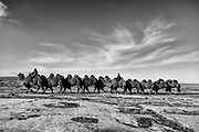 In the Gobi Desert of Mongolia, a camel herder leads his Bactrian camels (Camelus bactrianus) over the snow covered dunes in the winter, black and white, Gobi Desert, Mongolia