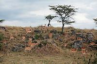 Impala Aepyceros melampus grazing in the beautiful reserve of masai mara in kenya africa