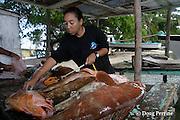 Belize Audubon Society biologist Kirah Forman measures Nassau grouper, Epinephelus striatus ( Endangered Species ) taken from a spawning aggregation by licensed fishermen, Lighthouse Reef Atoll, Belize, Central America ( Caribbean Sea )