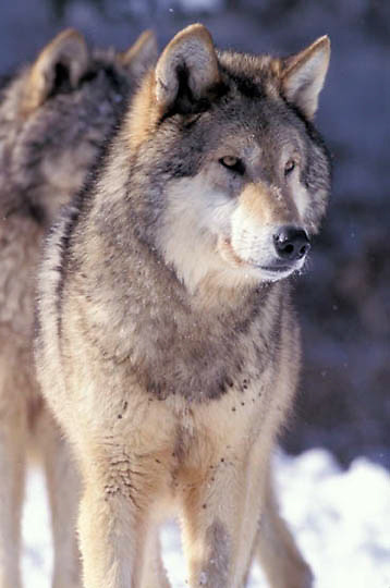 Gray Wolf, (Canis lupus) Rocky mountains. Winter.  Captive Animal.