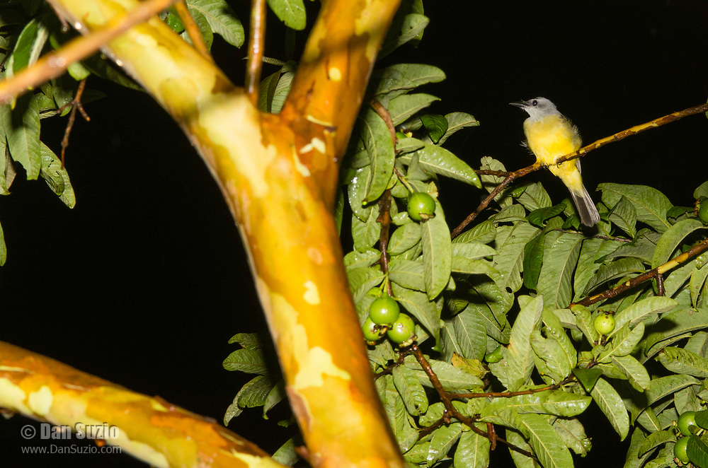 Tropical Kingbird, Tyrannus melancholicus, perched in a tree after dark at Monteverde, Costa Rica