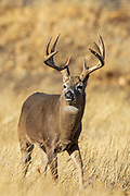 Whitetail buck during the autumn rut Whitetail buck during the autumn rut