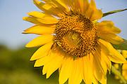 A wild honey bee pollinates a sunflower blooming at Botany Bay Plantation in Edisto Island, South Carolina.