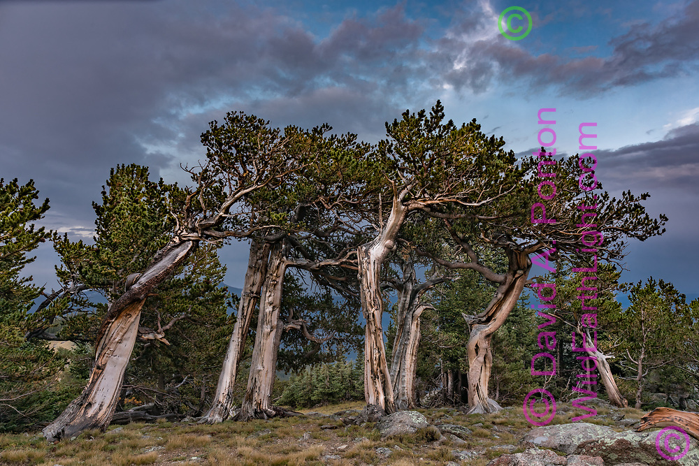 Ancient bristlecone pine grove at timberline, with even-aged trees showing diverse gnarly appearance, Mount Evans Wilderness, CO, © David A. Ponton