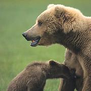 Alaskan Brown Bear, (Ursus middendorffi) Mother with cub licking mothers nipple after suckling. Katmai National Park. Alaska. Spring.