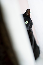 Black cat sat on a window sill between the folds of a curtain, Leicester, England, UK.