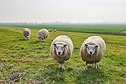 Schapen in de wei - Sheep in grassland