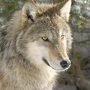 Gray Wolf, (Canis lupus) Adult portrait. Montana. Winter.  Captive Animal.