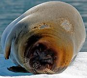 Bearded seal (Erignathus barbatus) resting on an ice berg in King's Fjord, western Spitsbergen, Svalbard.