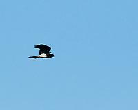 Swainson's Hawk (Buteo swainsoni). Alamosa National Wildlife Refuge, Colorado. Image taken with a Nikon D300  camera and 80-400 mm VR lens