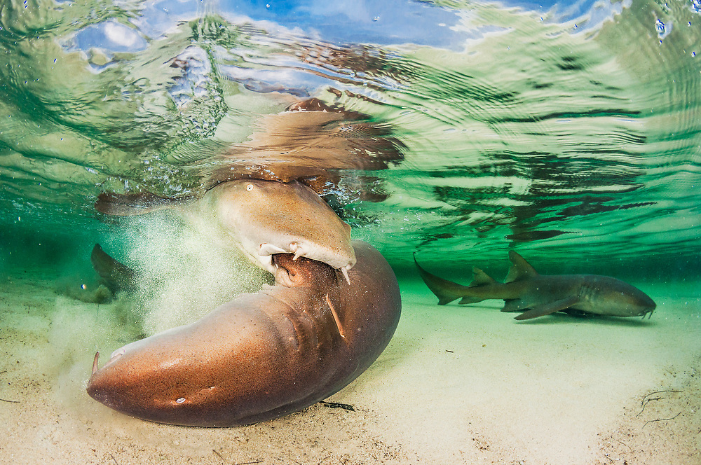 Nurse shark (Ginglymostoma cirratum) mating is a brutal affair. The male grips the female by the pectoral fin and tries to pin her to the bottom so he can insert his clasper in her cloaca for copulation.