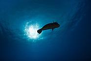 Green humphead parrotfish (Bolbometopon muricatum)