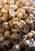 Mushrooms, Champignons de Paris, grown in former troglodyte cave at Le Saut aux Loups, in the Loire Valley, France