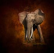 Elephant bull in Tanzania