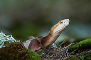 Copperhead (Agkistrodon contortrix)<br /> CAPTIVE<br /> Northern Georgia<br /> USA<br /> HABITAT & RANGE: Forested habitats but most common on rocky, wooded hillsides in the mountains and along swamp and river edges. South eastern USA