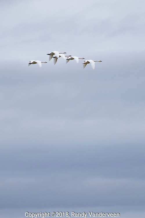 Photo Randy Vanderveen<br /> Grande Prairie, Alberta<br /> 2018-09-26<br /> Trumpeter swans wing their way across an overcast Alberta sky Wednesday. The large waterfowl will soon head to southern wintering grounds.