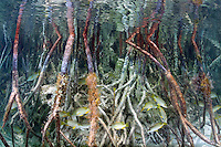 Underwater view of a mangrove tree's roots in the Bahamas.