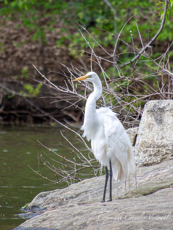 Great Egret (Ardea alba) at The Lake in Central Park