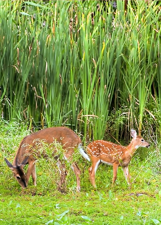 Mom and fawn Deer at Edith Reid Nature Conservancy, Rye, New York