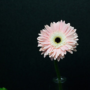 """Gerbera Daisy, in pink, with a dramatic upclose composition, against a black backdrop.<br /> <br /> *For all details about sizes, paper and pricing starting at $85, click """"Add to Cart"""" below."""