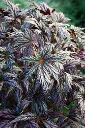Begonia 'Benitochiba' AGM