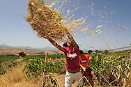 Volounteers against mafia working on a Sicilian vineyards. ITALY