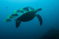 """Green Sea Turtle (Chelonia mydas) being cleaned by Chancho Surgeonfish (Prionurus laticlavius)<br /><br />Isla Canales de Afuera<br />Coiba National Park, Panama<br />Tropical Eastern Pacific Ocean<br /><br />""""Wahoo"""" dive site"""