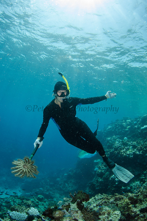 Crown-of-Thorns Sea Star (Acanthaster planci)<br /> Control on coral reef<br /> Fiji. South Pacific<br /> Can be very damaging to coral reefs. Marlen Zigler manually controls their numbers on Koro Island. <br /> MODEL RELEASED