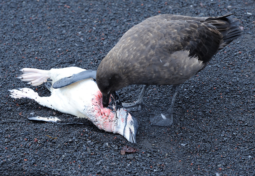 A skua  eats a Chinstrap Penguin (Pygoscelis antarctica) that it and other skuas have just killed as it left the sea. These birds are either Brown Skuas (Catharacta lonnbergi) or South Polar Skuas (Catharacta maccormicki) . Saunders Island, South Sandwich Islands. South Atlantic Ocean. 25Feb16