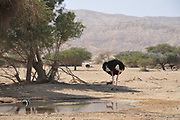 Israel, Aravah, The Yotvata Hai-Bar Nature Reserve breeding and reacclimation centre. Ostrich, Struthio camelus