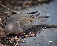 Mourning Dove. Image taken with a Nikon D5 camera and 600 mm f/4 VR lens (ISO 1600, 600 mm, f/5.6, 1/1000 sec).