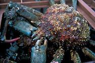 Spider Crab on commercial Fishing dock, Santa Barbara Harbor, Santa Barbara, Southern Coast, California