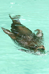 Sea Lion, Los Angeles Zoo