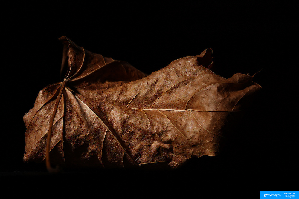A studio portrait of an Autumn Leaf, New England, USA.  Photo Tim Clayton