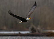 An adult bald eagle (Haliaeetus leucocephalus) flies low over a gravel bar along the Nooksack River in Welcome, Washington. Hundreds of bald eagles winter in the area to feast on spawned-out salmon.