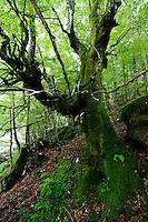 pristine forest at river Lepenjica, Lepena valley<br /> Triglav National Park, Slovenia<br /> June 2009