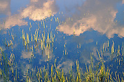 Grasses, Clouds Reflected, Tuolumne Meadows, Yosemite National Park, Sierra Nevada Mountains, California Parks, 2009 by David Leland Hyde.
