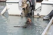 sea otter, Enhydra lutris ( Endangered Species ), eating mussels next to fuel dock in marina, Valdez, Alaska ( Prince William Sound )