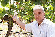 Pero Vucic viticulturist and vineyard manager in the vineyard. Showing the grape bunches. Zilavka grape variety. One of their best vineyards with very poor soil on a hilltop mountain near Citluk and Zitomislic. Vinarija Citluk winery in Citluk near Mostar, part of Hercegovina Vino, Mostar. Federation Bosne i Hercegovine. Bosnia Herzegovina, Europe.