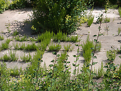 Mare's tail weeds growing up through paved frontage,