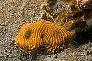 Star Puffer -  very young juvenile.(Arothron stellatus).Lembeh Straits, Indonesia