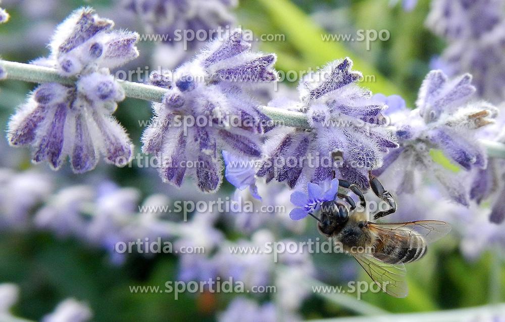 THEMENBILD - Eine Biene sammelt Nektar von der Blüte einer Blume am 25. Juli 2015 in Goricane, Slowenien // Bee collecting nectar from a flower. Goricane, Slovenia on 2015/07/25. EXPA Pictures © 2015, PhotoCredit: EXPA/ Pixsell/ Ziga Zivulovic<br /> <br /> *****ATTENTION - for AUT, SLO, SUI, SWE, ITA, FRA only*****