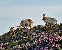 Goats eating Heather. Viewed while hiking to Howth Head. Image taken with a Nikon 1 V1 camera and 30-110 mm VR lens.