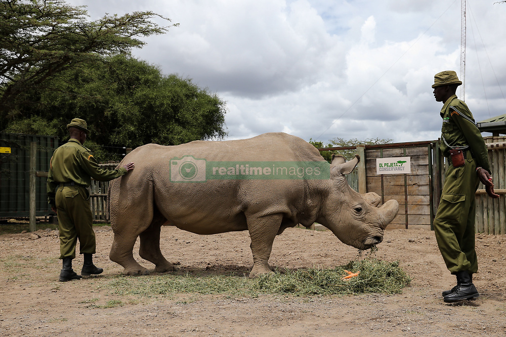 BEIJING, March 12, 2018  Photo taken on April 28, 2016 shows Sudan, the last male northern white rhino in the world, eating at Ol Pejeta Conservancy in Nanyuki, Kenya. The world's only remaining male northern white rhino has been battling with a life-threatening ailment. The 45-year-old giant land mammal, fondly named as Sudan, has been sheltered at the Ol Pejeta Conservancy in the northern Kenyan county of Laikipia, and has lately grappled with an infection on his right hind leg, undermining his capacity to roam around and forage. ''There has been no significant improvement on the health of Sudan and doctors are on the standby to administer treatment twice a day,'' said Elodie Sampere, communications manager at Ol Pejeta Conservancy, during an interview with Xinhua.  zjy) (Credit Image: © Pan Siwei/Xinhua via ZUMA Wire)