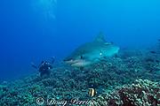 diver photographing tiger shark, Galeocerdo cuvier, on coral reef, with moorish idol, Zanclus cornutus, and other reef fish, Honokohau, Kona, Big Island, Hawaii, USA ( Central Pacific Ocean ) MR 465