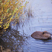 Beaver, (Castor canadensis) Feeding at Oxbow Bend in Grant Teton National Park. Fall. Wyoming.