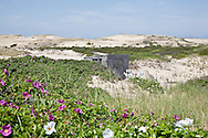 Rugosa roses surround one of the Provincetown dune shacks.