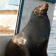 Galapagos Sea Lion (Zalophus californianus) on a dock. Galapagos, Ecuador.